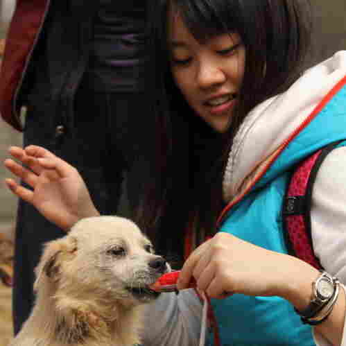 A volunteer feeds one of the dogs rescued from slaughter last December in a stand-off between animal rights activists and dog-meat sellers in central China. Such rescues have been taking place with some regularity in China.