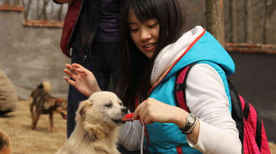 A volunteer feeds one of the dogs rescued from slaughter last December in a stand-off between animal rights activists and dog-meat sellers in central China. Such rescues have been t