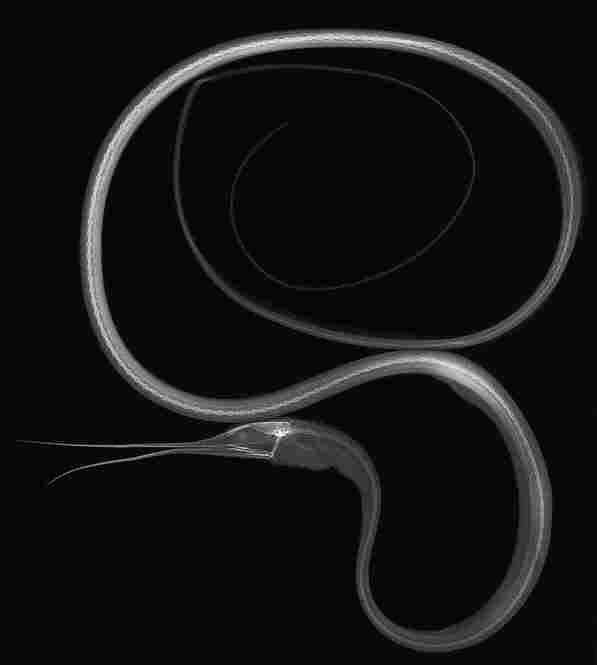 Slender snipe eel