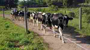 A dairy farmer drives some of his Holstein cows out to pasture in the Madison County, N.Y. town of Lenox.