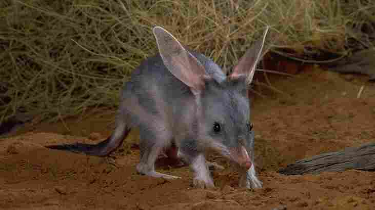 The bilby is an endangered Australian marsupial that has been run out of its habitat by humans and rabbits.