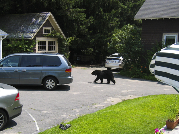 A mother black bear in a Northampton, Mass., neighborhood, just before entering a garage and stealing a 5-pound bag of bird food for herself and her cubs.