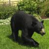 Bears Stuffing Themselves Near Massachusetts Homes