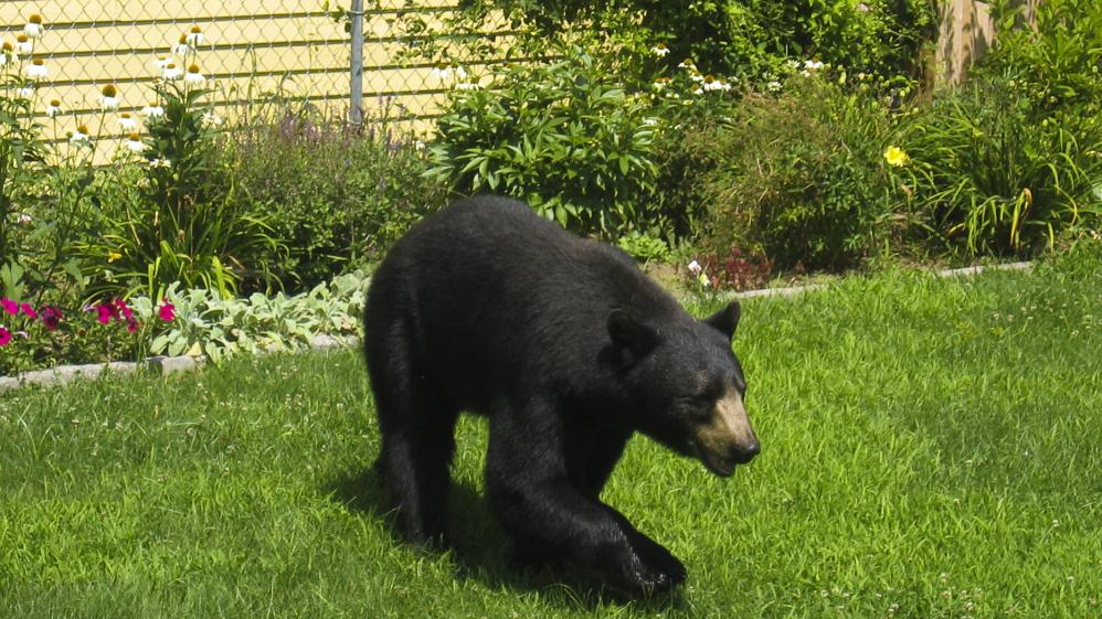 Bears Stuffing Themselves Near Massachusetts Homes Npr