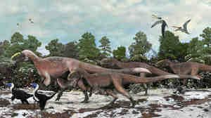 An artist's impression of a group of Yutyrannus. The 30-foot-long dinosaurs were covered with downy feathers — likely to keep the animals warm.