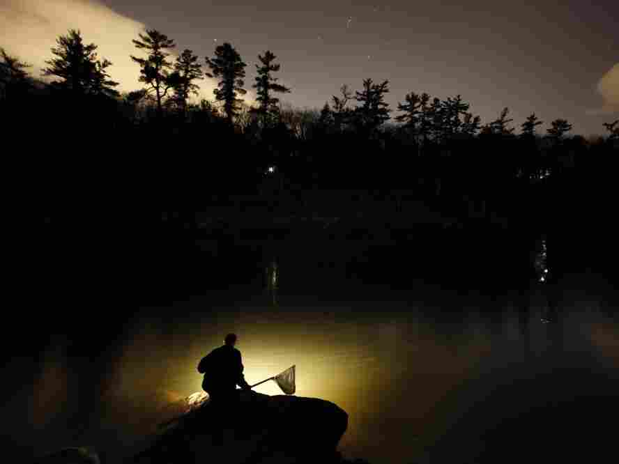 A fisherman uses a lantern while dip-netting for elvers on a river in southern Maine. Elvers are young, translucent eels that are born in the Sargasso Sea and swim to freshwater lakes and ponds, where they grow to adults before returning to the sea.