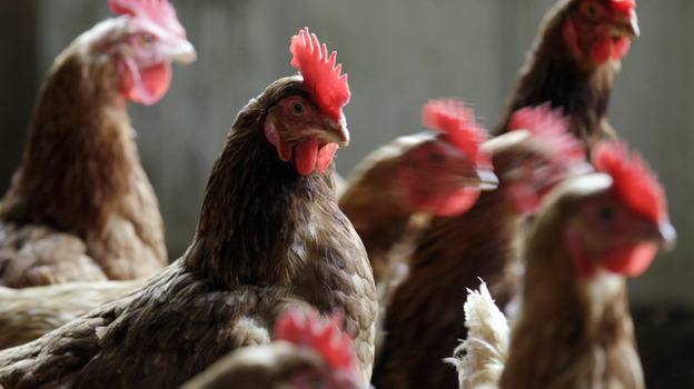 The FDA's latest effort to end the use of antibiotics as growth promoters in animals is getting mixed reviews from activists. (AP)