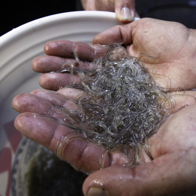 Fishermen in Maine and South Carolina are reaping profits upward of $2,000 per pound for elvers.