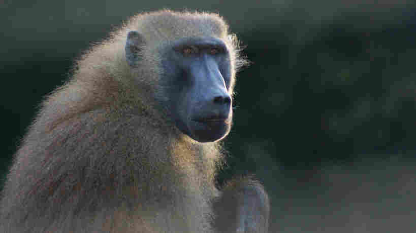 Researchers studied baboons, including this one, and found that with training, they could distinguish real four-letter English words from four letters that weren't a word.