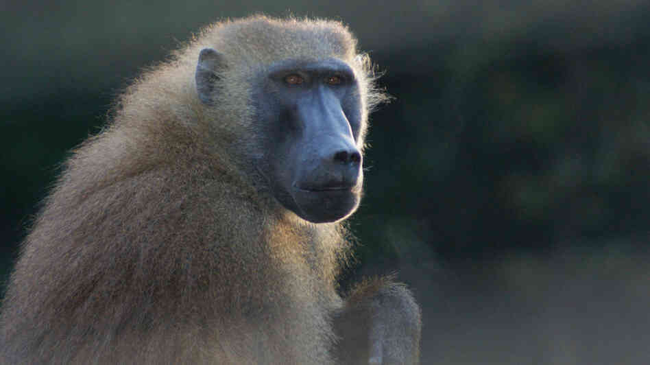 Researchers studied baboons, including this one, and foun