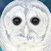 Illustration of a hoot owl. iStockphoto.com