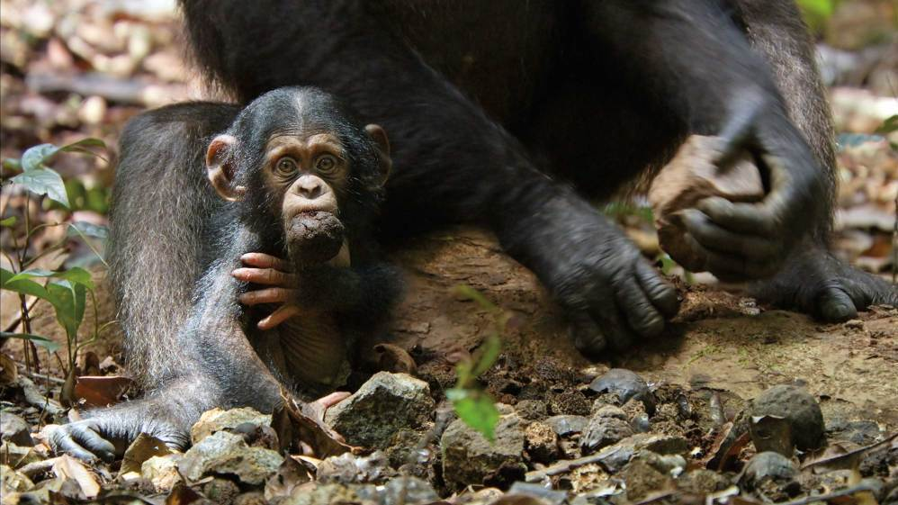 following the lives of chimpanzees on screen npr