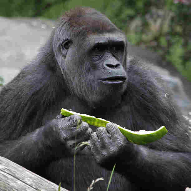 Gorillas are fine with being herbivores, like this one at a Seattle zoo. But humans evolved as omnivores. Is diet destiny?