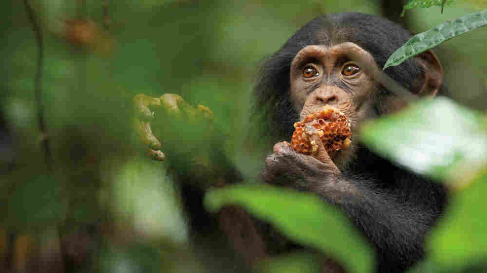 """Nicknamed """"Oscar"""" by Chimpanzee's filmmakers, the young chimp at the center of the film is adopted by an older male chimp — a rare occurrence — after his mother is killed."""