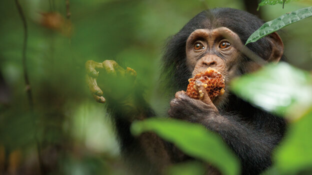 "Nicknamed ""Oscar"" by Chimpanzee's filmmakers, the young chimp at the center of the film is adopted by an older male chimp — a rare occurrence — after his mother is killed."