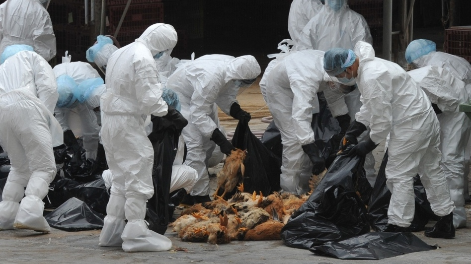 Chickens were killed in Hong Kong last December in an effort to halt the spread of the deadly H5N1 strain of bird flu. (AFP/Getty Images)