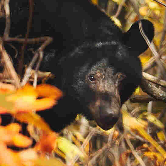 The body parts of black bears are harvested all around the world, for use in Asian cooking and medicine. A new rule in New York aims to more closely monitor hunters who trade in body parts.