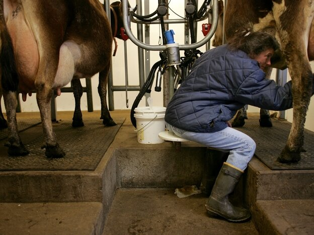 Dairy farmer in Chester, Vermont, milks her cows.