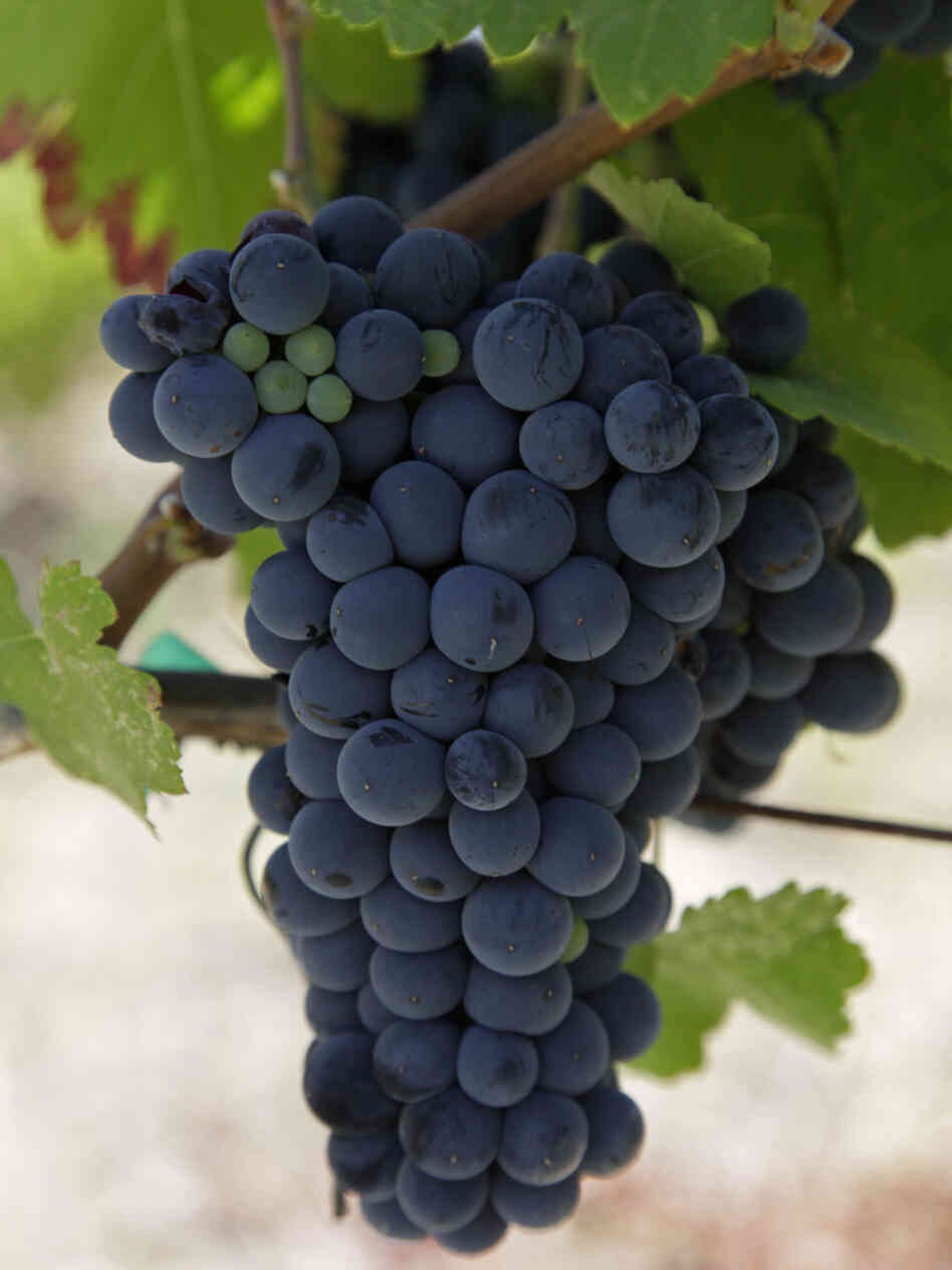 The European Union is forcing a British winery to give away wine made with Argentinian Malbec grapes. Here, a cluster of Malbec grapes hang from a vine.