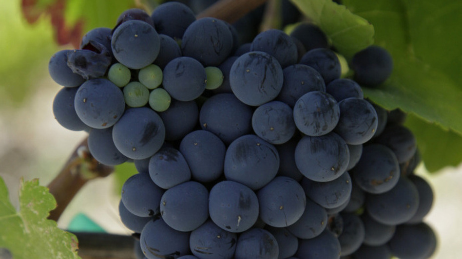 The European Union is forcing a British winery to give away wine made with Argentinian Malbec grapes. Here, a cluster of Malbec grapes hang from a vine. (AP)