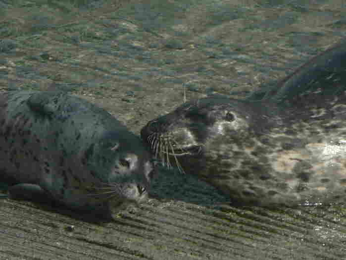 A mother and infant harbor seal at Point Lobos State Natural Reserve in California, April 2012.