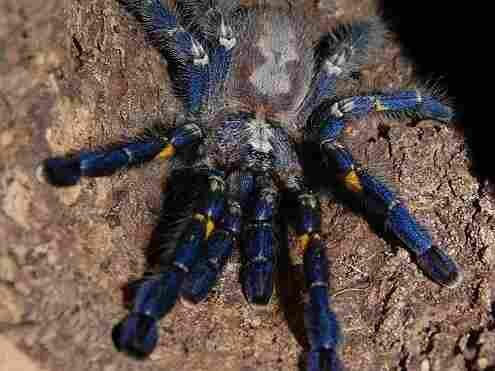 "The Poecilotheria metallica is a species of tarantula that reflects a metallic blue color. It is just one of many tarantulas for sale in Ken ""The Bug Guy"" MacNeil's pet store. Price: $200."