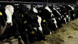 Cattle feeding practices have been changed in an effort to halt the spread of mad cow disease.