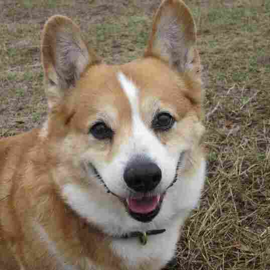 'Bring Andy Home:' Search For Missing Corgi Goes High Tech