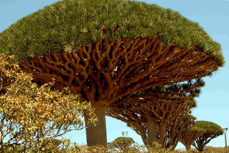 The Yemeni island of Socotra is historically famous for its unique and spectacular vegetation; botanists rank the flora of Socotra among the 10 most endangered island flora in the world. The dragon blood tree is unique to the island.