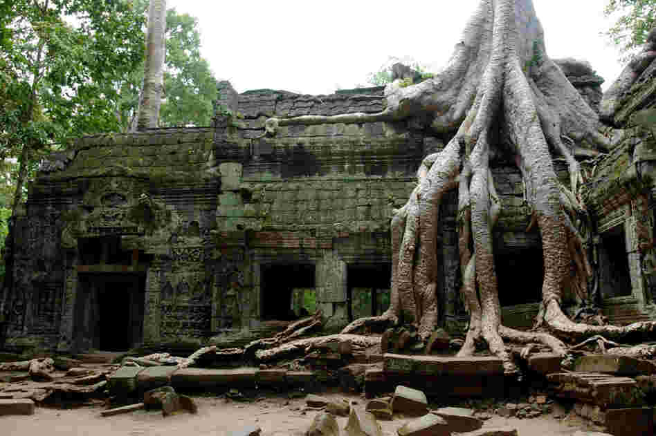 One of the most iconic features of the ruins of Ta Phrom in Angkor, Cambodia, is the trees growing through the structures.