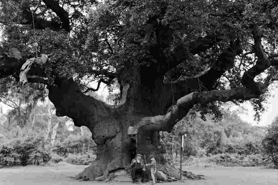 Of course we have to acknowledge the Major Oak of Robin Hood's Sherwood Forest, near Edwinstowe, England.