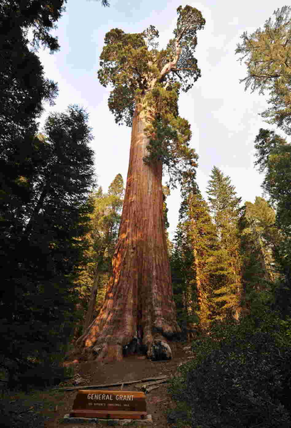 Redwood trees, like the General Grant giant sequoia, native to California's Sierra Nevada, are the world's largest by volume — reaching heights of more than 300 feet. The oldest known giant sequoia based on its ring count is 3,500 years old.