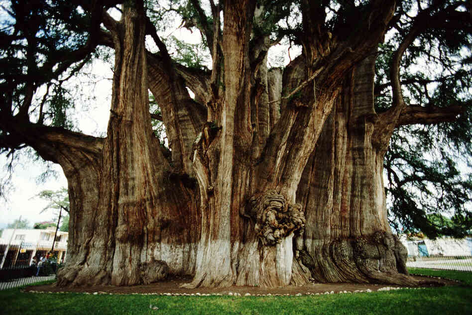 "The Tule tree is a Montezuma cypress in Oaxaca, Mexico. It has the stoutest trunk of any tree in the world and is on the UNESCO tentative list of World Heritage Sites. According to UNESCO, ""the ancient indigenous population considered this tree as sacred,"" which is why it's also nicknamed the ""tree of life."""
