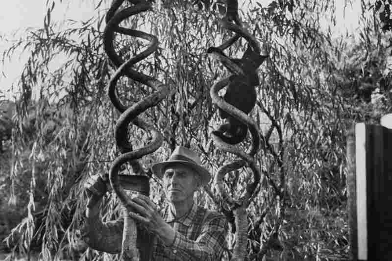 "Axel Erlandson was a Swedish-American farmer known for his ""Tree Circus,"" in which he grafted and shaped trees into unusual shapes."