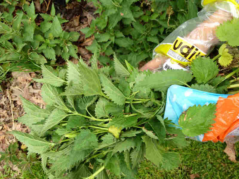 Leah Lizarondo. with her hands covered in plastic bags, gathers stinging nettles.