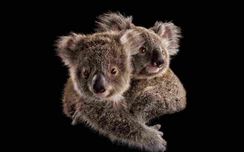 "Photographer Joel Sartore says koalas really are as cute as they seem. ""They're pretty much exactly what you think,"" he says. Here, two joeys cling to each other at an animal hospital in Australia."