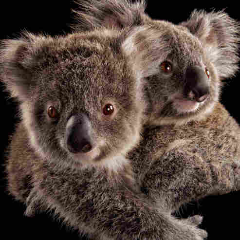 Koalas Are So Cute! (And Threatened)