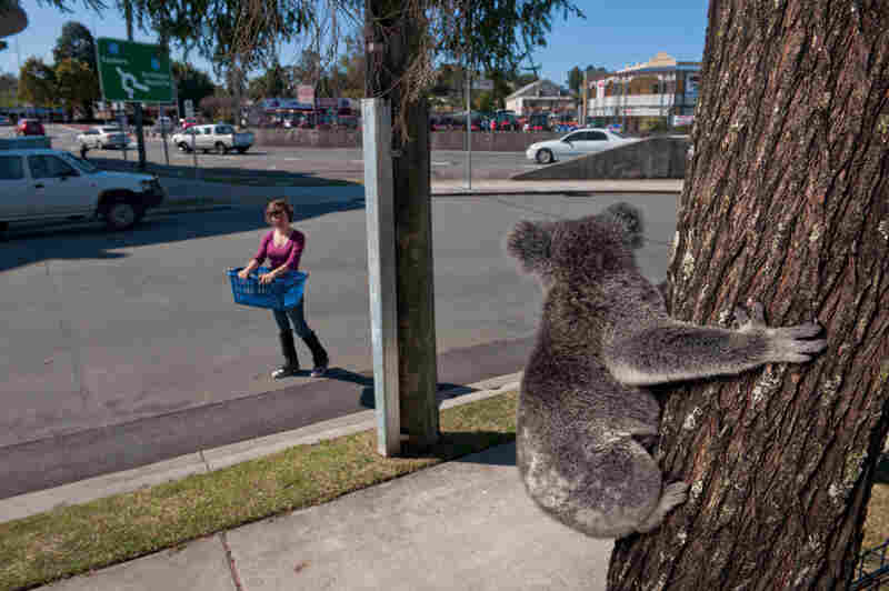 "Up a tree in Petrie, a town north of Brisbane, a female koala watches photo assistant Jess Hooper approach with a basket to drop on her if she comes down before rescuers arrive. Koalas often return to trees they consider their territory, says rescuer Megan Aitken, ""even if those trees are now in somebody's front yard."""