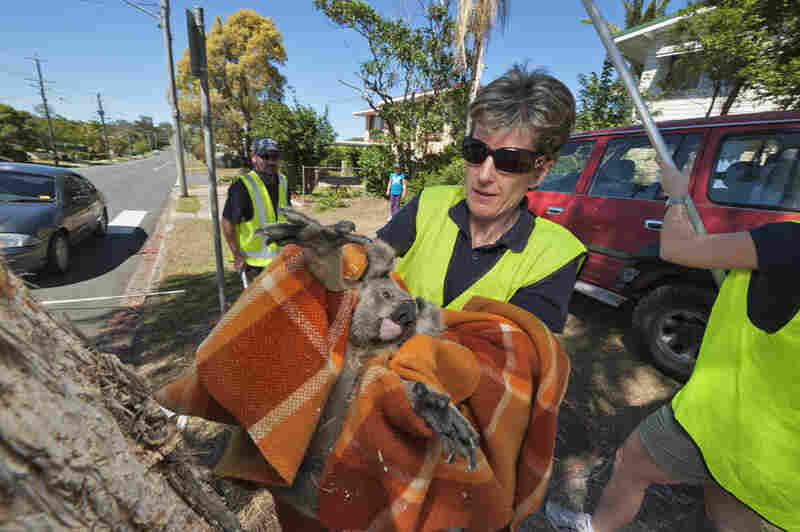 "Wielding a blanket, Megan Aitken of the Moreton Bay Koala Rescue team bundles a young male that was hit by a car. Development in prime koala habitat makes such scenes inevitable, she says: ""If koalas aren't protected, we're looking at local extinction within five years."""
