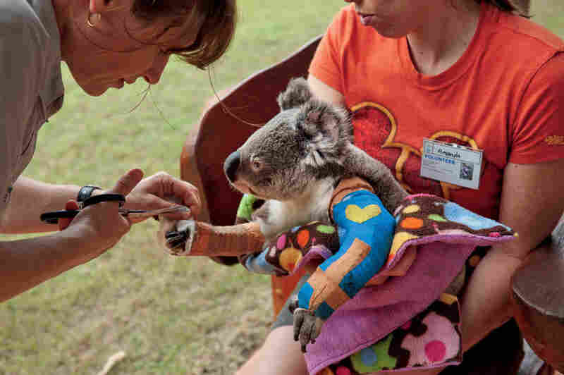 Vicky Toomey, head veterinarian nurse at the Australia Zoo Wildlife Hospital in Beerwah, Queensland, trims a cast for Harley, who is lucky to be alive and on the mend after being hit by a car.