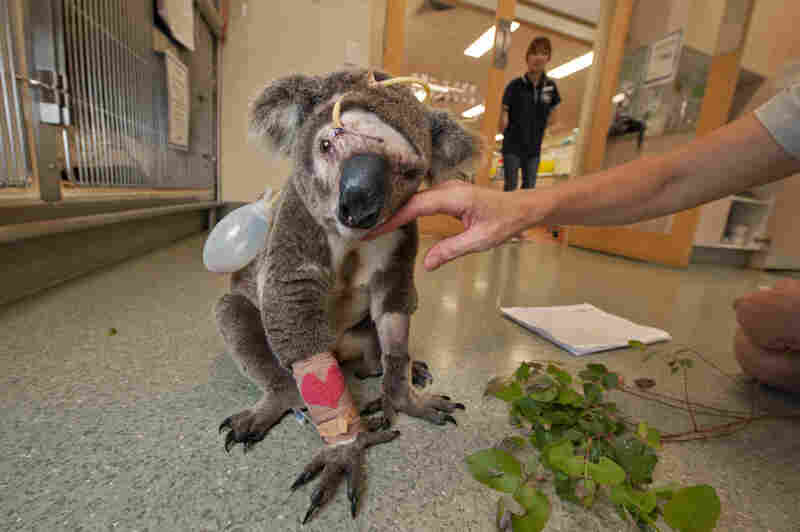Attacked by a dog, Bruzer, a young male, recuperates from surgery at the Australia Zoo Wildlife Hospital, where hundreds of koalas are treated every year for injuries inflicted by dogs or automobiles. With his facial bones crushed, Bruzer succumbed to infection and complications after veterinarians tried to repair his sinuses.