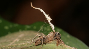A zombie ant with a mature, healthy fruiting body growing from the ant's neck. Some damage due to a chewing insect is visible, as is a spider making a home beneath the ant.