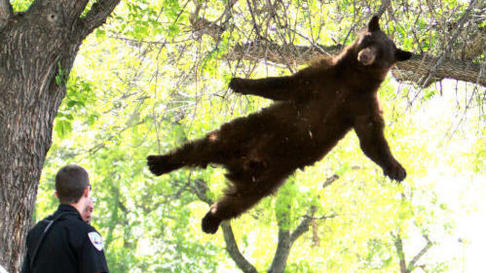 "The ""falling bear"" photo that brought him fame. (CU Independent)"