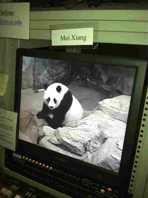 """""""Here's Mei right now,"""" tweeted the National Zoo just before the procedure. """"Volunteers are watching her from our research station as we prepare."""""""