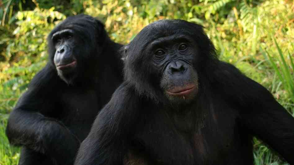 Bonobos at the Lola ya Bonobo sanctuary in the Democratic Republic of Congo.