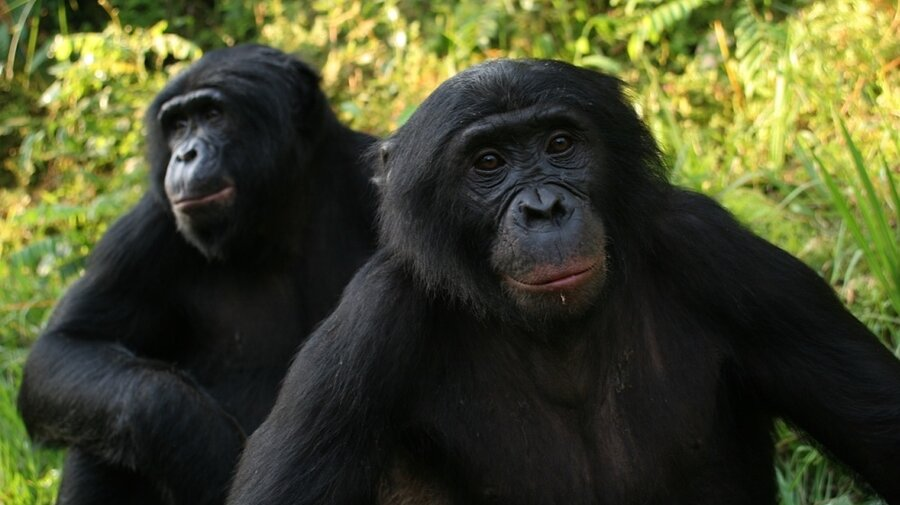 Image result for bonobos cannibalism
