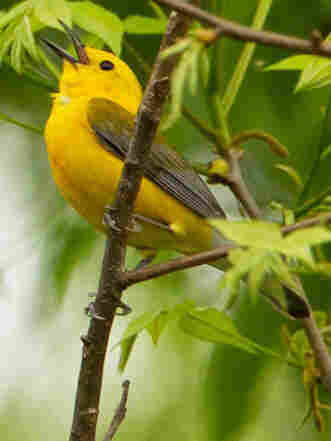 On a recent Saturday, the Prothonotary warbler drew crowds of plugged-in bird watchers in New York's Central Park.