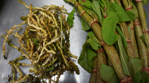 Chefs Leif Hedendal and Mark Andrew Gravel received this toothwort root and knotweed in the mail from New England forager Evan Strusinski.