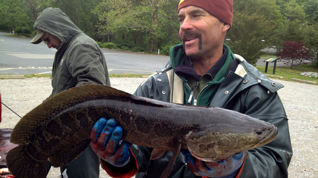 John Odenkirk holds up a snakehead. The fish can survive for long periods of time out of water as long as they're kept moist. They breathe air by gulping it, so they don't need to stay submerged. (for NPR)
