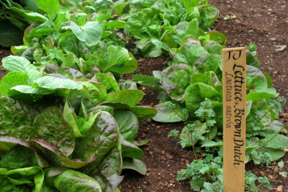 Over his lifetime, Jefferson grew 330 varieties of 99 species of vegetables and herbs. Brown Dutch lettuce was a Jefferson favorite: He'd sow it in the fall to harvest through the winter months.